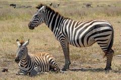 Зебра младенца с матерью Стоковая Фотография