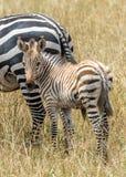 зебра младенца Стоковые Фотографии RF