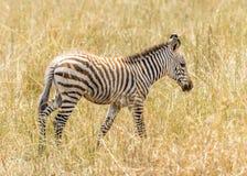 зебра младенца Стоковое Изображение RF