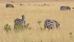 Зебра младенца, Masai Mara акции видеоматериалы