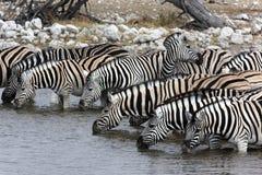зебра Намибии Стоковое Изображение