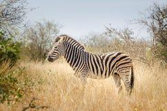 Зебра, национальный парк Kruger, Южная Африка Стоковое Изображение
