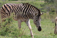 Зебра на движении Стоковая Фотография RF