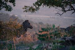 Зебра на восходе солнца Стоковое Изображение
