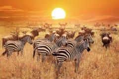 Зебра на заходе солнца в национальном парке Serengeti вышесказанного Танзания стоковые фото