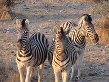 Зебра на заходе солнца Стоковые Изображения RF