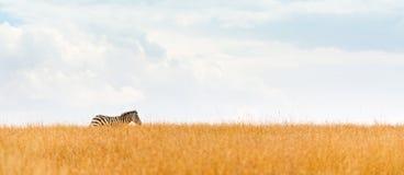 Зебра на знамени сети горизонта поля Кении Стоковая Фотография RF