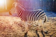 Зебра на зоопарке Африканские животные в зоопарке города Стоковое Изображение RF