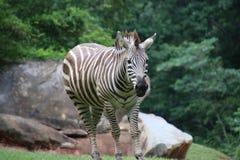 Зебра на зоопарке Северной Каролины Стоковые Изображения RF
