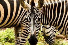 Зебра на зоопарке Стоковые Изображения