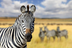 Зебра на злаковике в Африке Стоковое Изображение