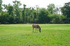 Зебра на мире сафари Стоковая Фотография