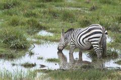 Зебра на моча этап Стоковые Фото