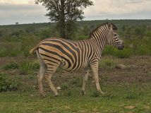 Зебра на пасмурный день в Kruger стоковое изображение