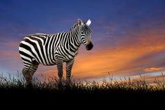 Зебра на предпосылке неба захода солнца стоковое фото