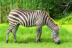 Зебра на равнинах Стоковое Изображение RF