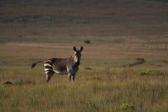 Зебра на равнине травы Стоковое Изображение RF