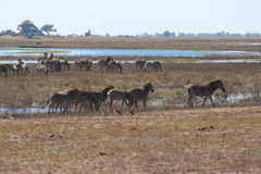 Зебра на реке Chobe Стоковые Фотографии RF