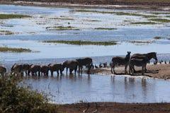 Зебра на реке Chobe Стоковые Изображения RF