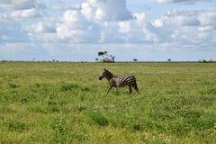 Зебра на саванне, Африка, Кения Стоковое Фото