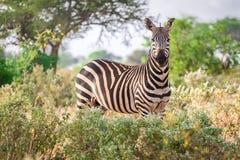 Зебра на саванне, Кении, Восточной Африке Стоковое Фото