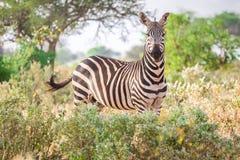 Зебра на саванне, Кении, Восточной Африке Стоковая Фотография RF