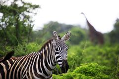 Зебра на саванне Стоковое Изображение
