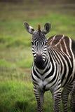 Зебра на саванне Стоковое Изображение RF