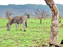 Зебра на сафари привода игры утра Стоковые Фото