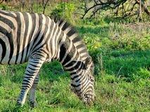 Зебра на сафари привода игры утра Стоковые Изображения RF