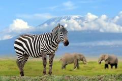 Зебра на слоне и предпосылке Килиманджаро стоковое фото