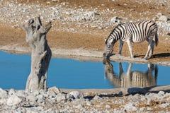 Зебра на waterhole Стоковые Изображения RF