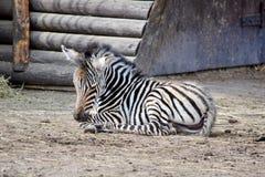 Зебра небольшого Чэпмена младенца лежа на земле стоковая фотография rf