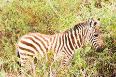 зебра новичка Стоковое Изображение