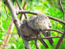 Зебра нырнула striata Geopelia, мирный голубь или заперла земной голубя, птицу семьи голубиные Стоковое Изображение RF