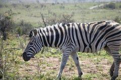Зебра около, который нужно пасти Стоковое Фото