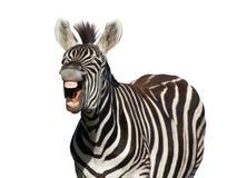 зебра окрика смеха Стоковые Изображения