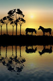 зебра отражения Стоковые Фотографии RF
