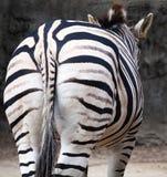 Зебра от заднего показа Striped зад и кабель Стоковые Фотографии RF