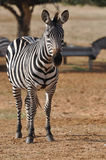 зебра парка Стоковая Фотография RF