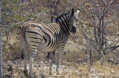 зебра парка etosha Стоковые Изображения