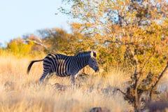 Зебра пася в кусте на заходе солнца Стоковая Фотография RF