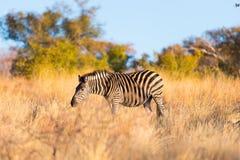 Зебра пася в кусте на заходе солнца Стоковые Фотографии RF