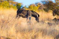 Зебра пася в кусте на заходе солнца Стоковое Изображение RF