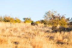 Зебра пася в кусте на заходе солнца Стоковые Изображения RF
