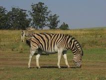 Зебра пася в открытом поле в заповеднике в Южной Африке Стоковое Изображение RF