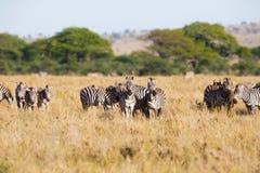 Зебра пася в Serengeti Стоковые Фотографии RF