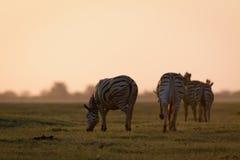 Зебра пася на заходе солнца Стоковые Фото
