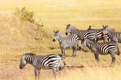 Зебра пася на злаковике в Amboseli, Африке Стоковое Изображение RF