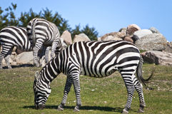 Зебра пася на саванне Стоковое Изображение
